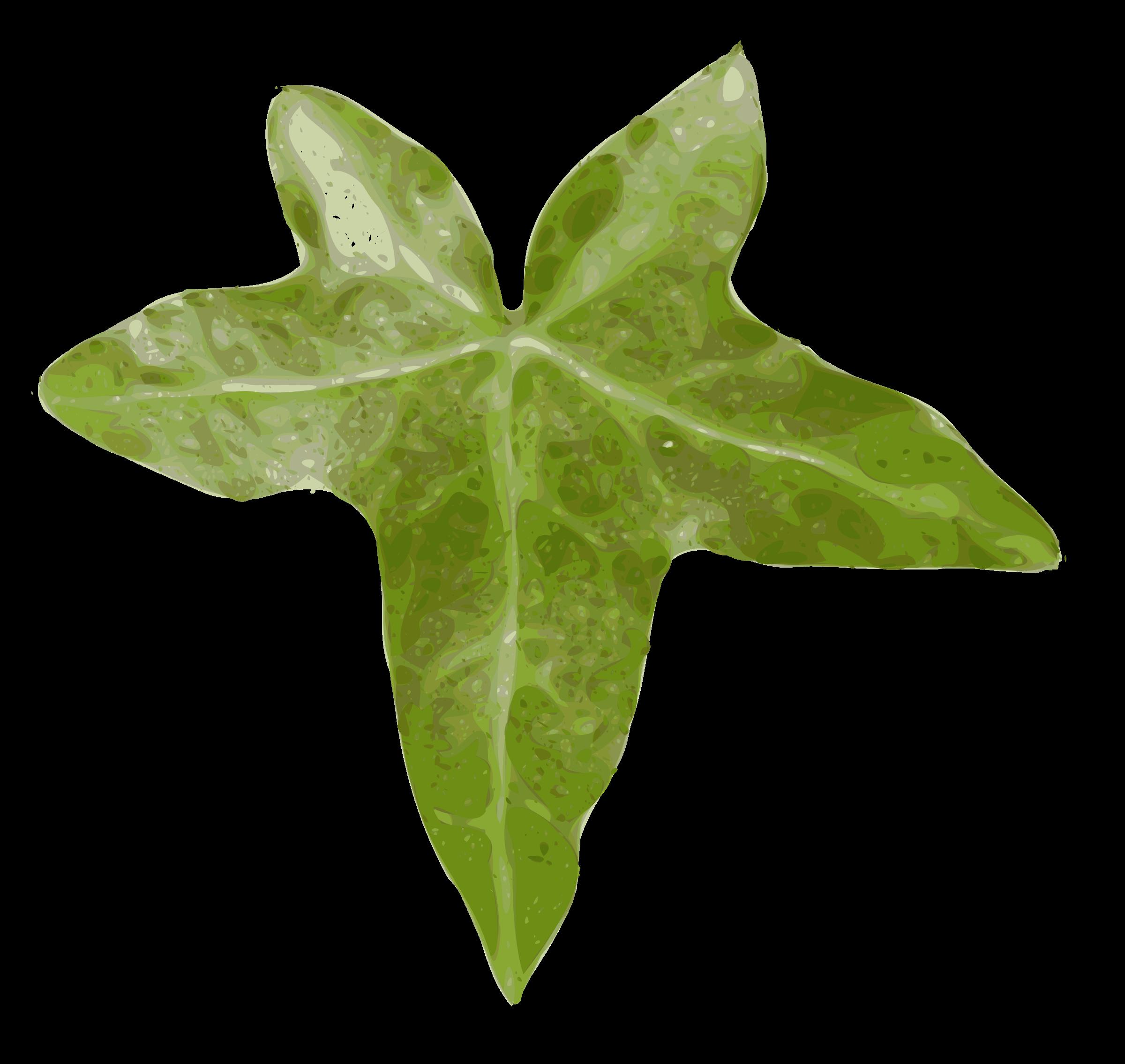 Ivy clipart big leaf. Lierre image png