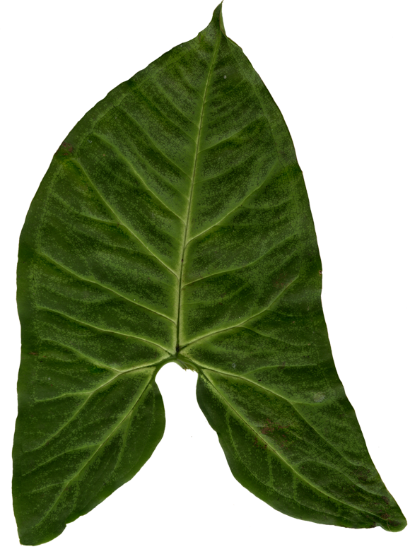 Ivy clipart big leaf. Pin by flutt on
