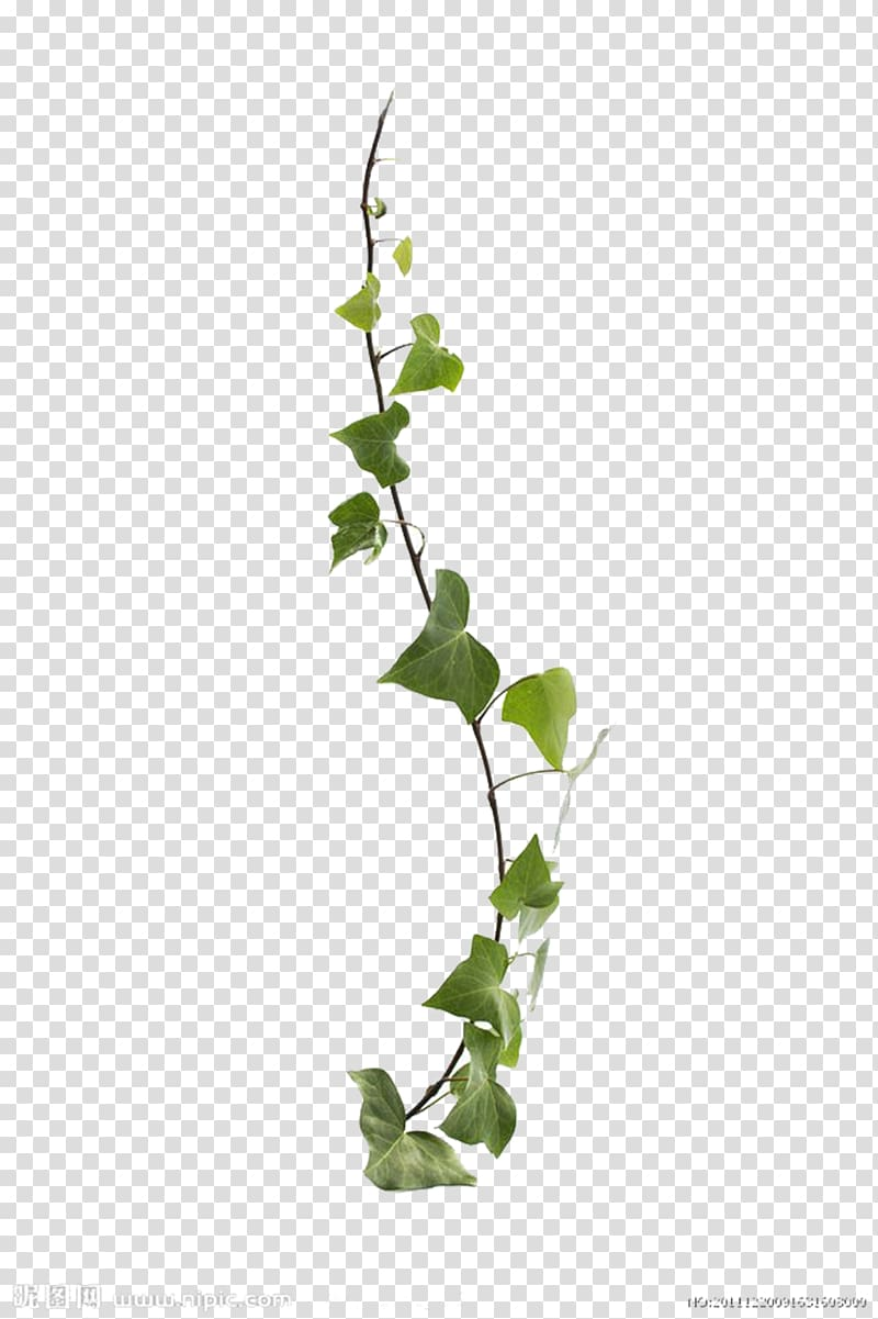 Vines clipart creeper plant. Common ivy virginia vine