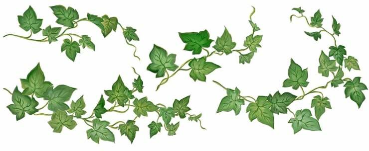 Vines clipart english ivy. Drawing piece of ivey