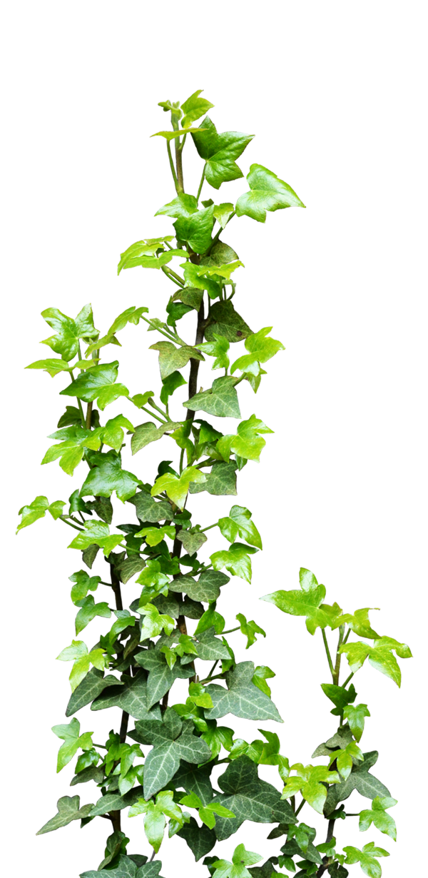 Transparent png pictures free. Vines clipart vine plant