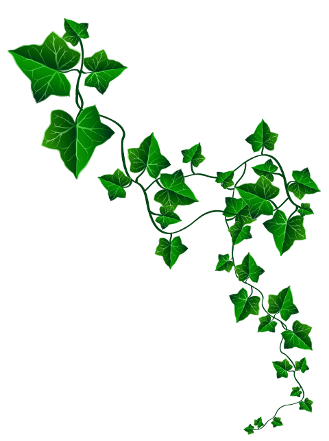 Largest collection of free. Ivy clipart holly and ivy