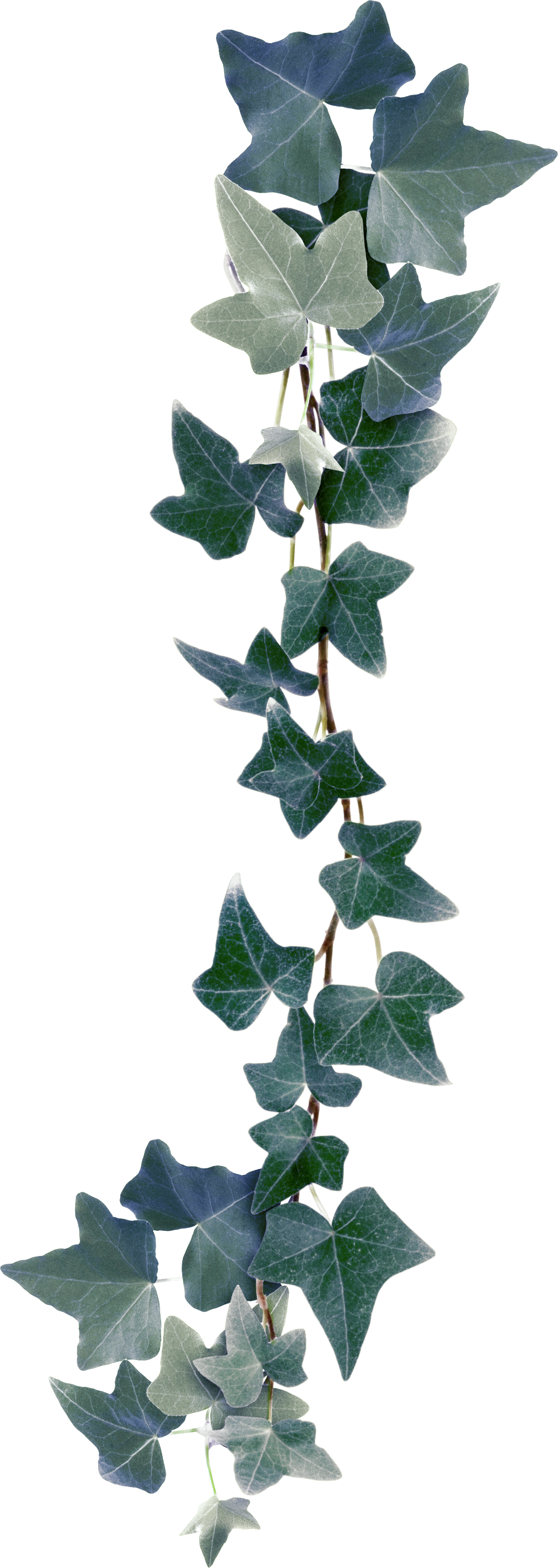Bindweed plant clip art. Ivy clipart holly and ivy