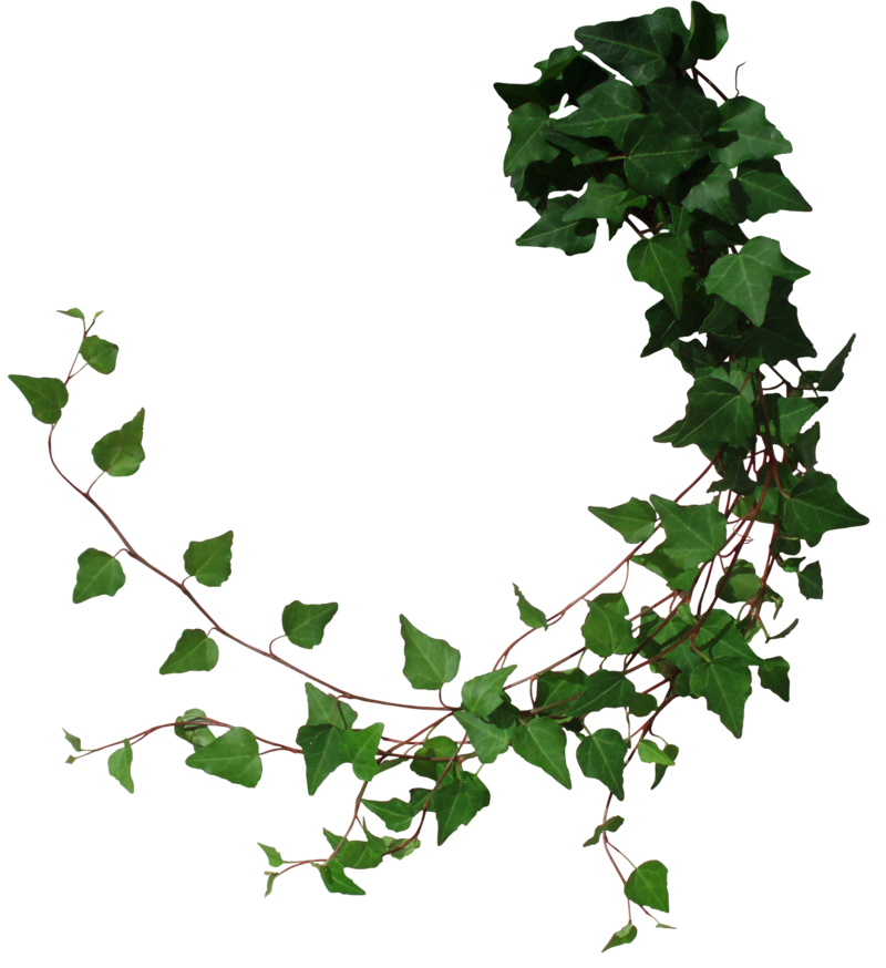 Drawing at getdrawings com. Vines clipart english ivy