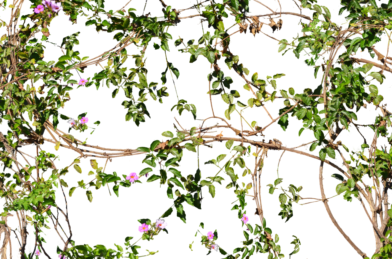 Vines transparent pictures free. Flower vine png