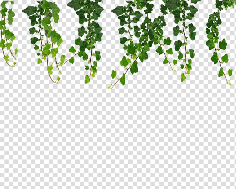 Ivy hanging green plants. Vines clipart vine plant