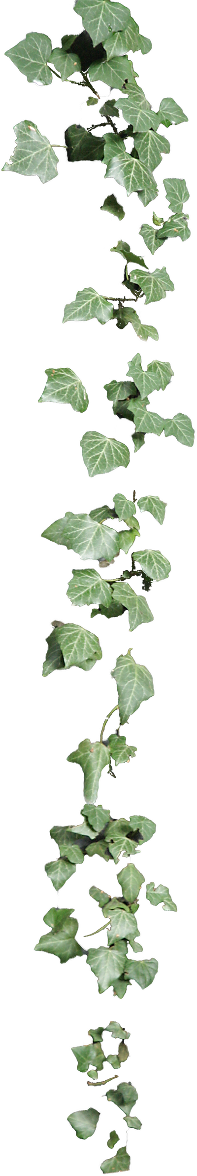 Vines clipart english ivy. Cirrus by lilifilane deviantart