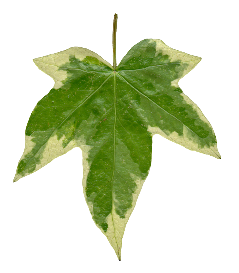 Ivy clipart squash vine. Love the coloring of
