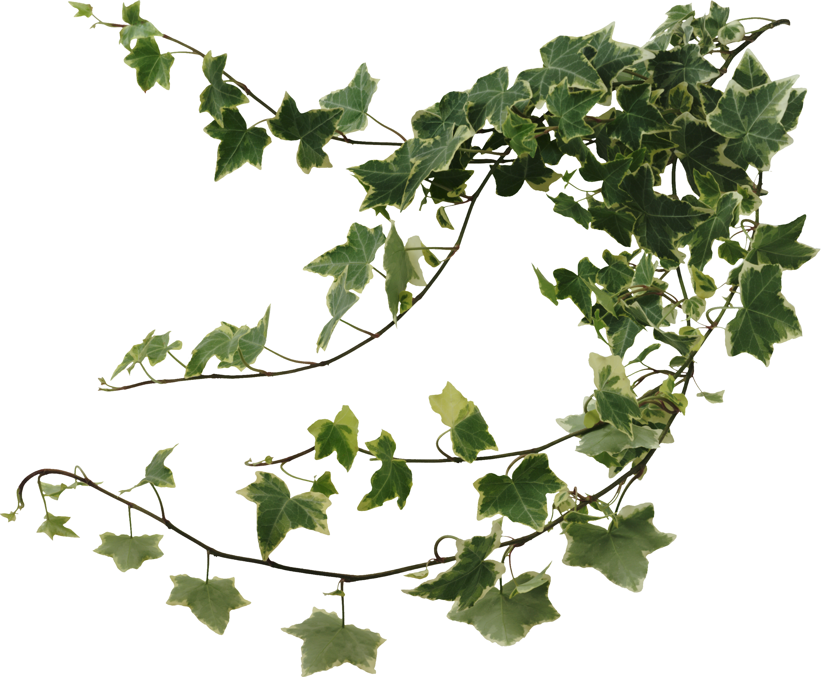 Vines clipart english ivy. Http www picshare ru