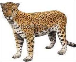 Free. Jaguar clipart