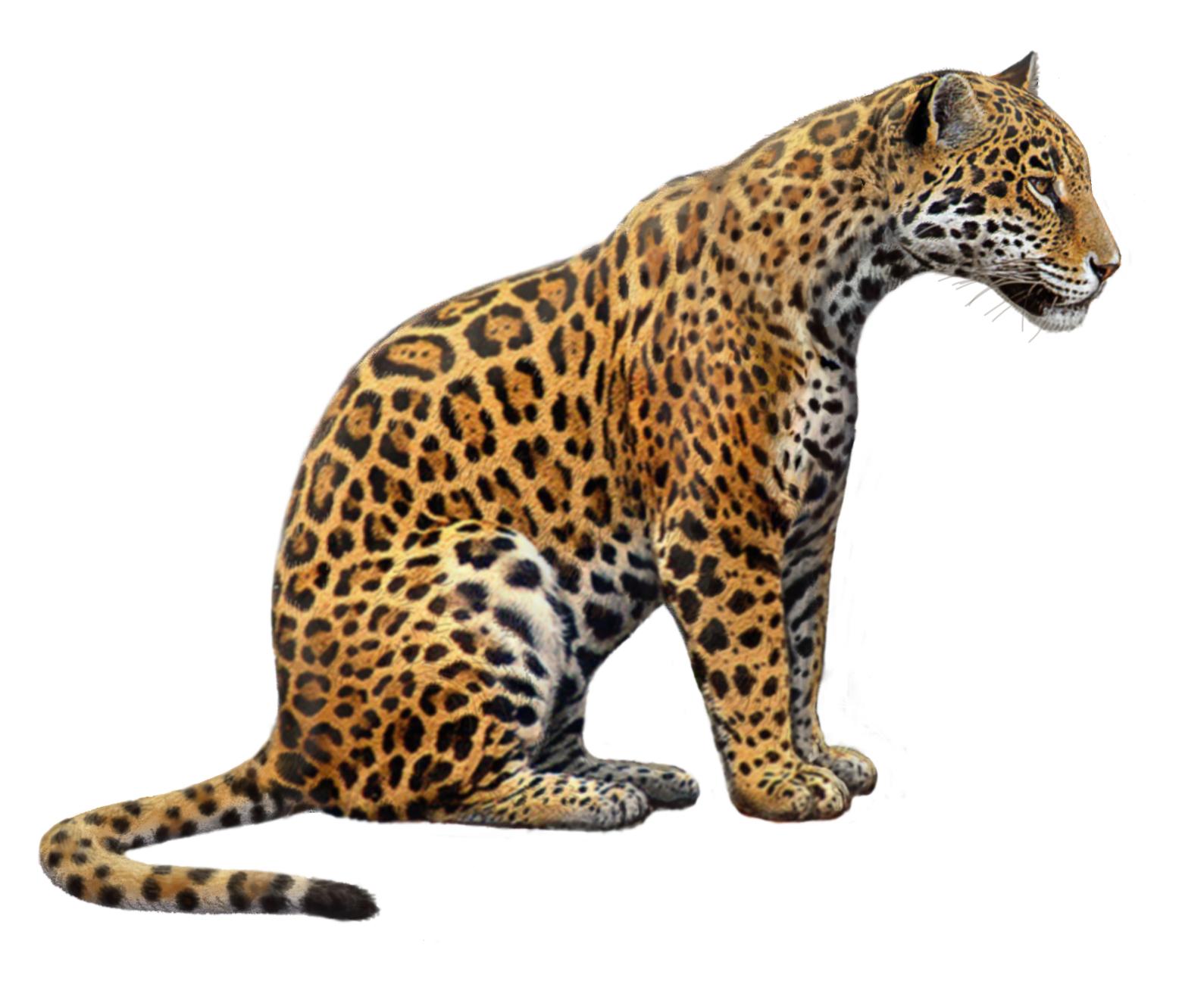 Jaguar clipart. Animal drawing at getdrawings