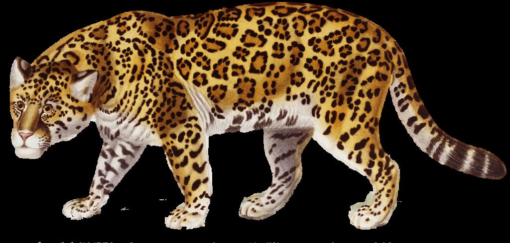 Backgrounds x best wallpapers. Jaguar clipart