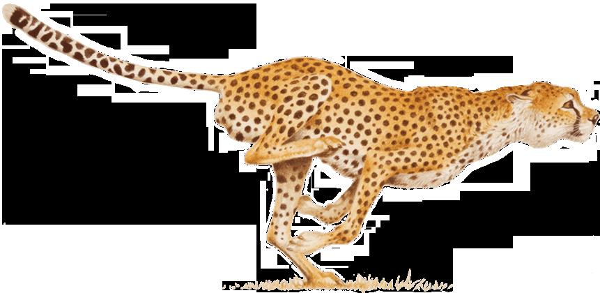 Leopard cheetah run