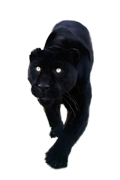 Kitty clipart black panther. Totally transparent resources images