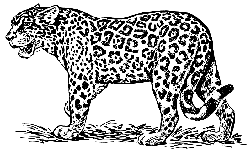 Jaguar clipart lineart. Animals wild cats