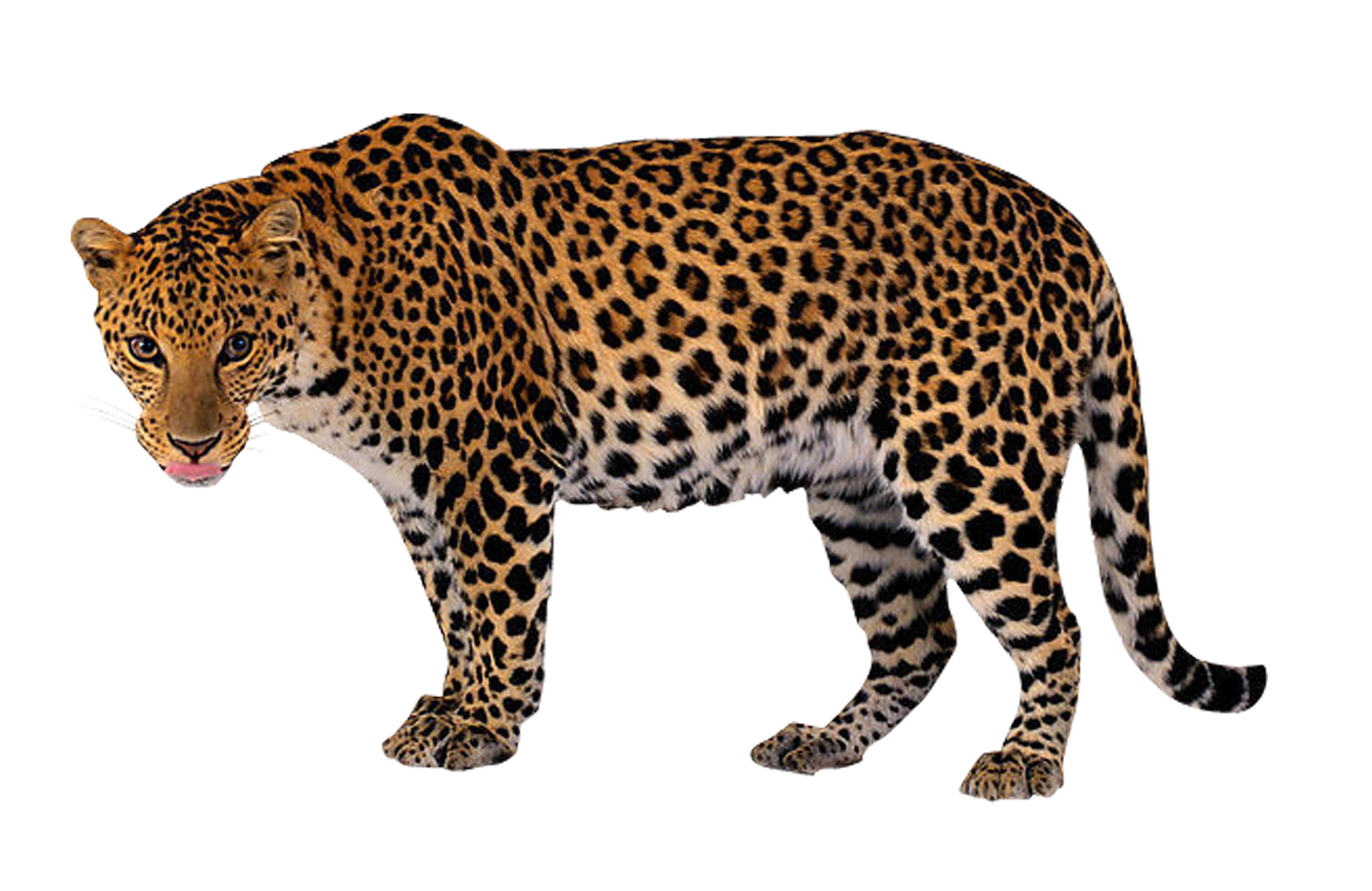 Jaguar clipart snow leopard. At getdrawings com free