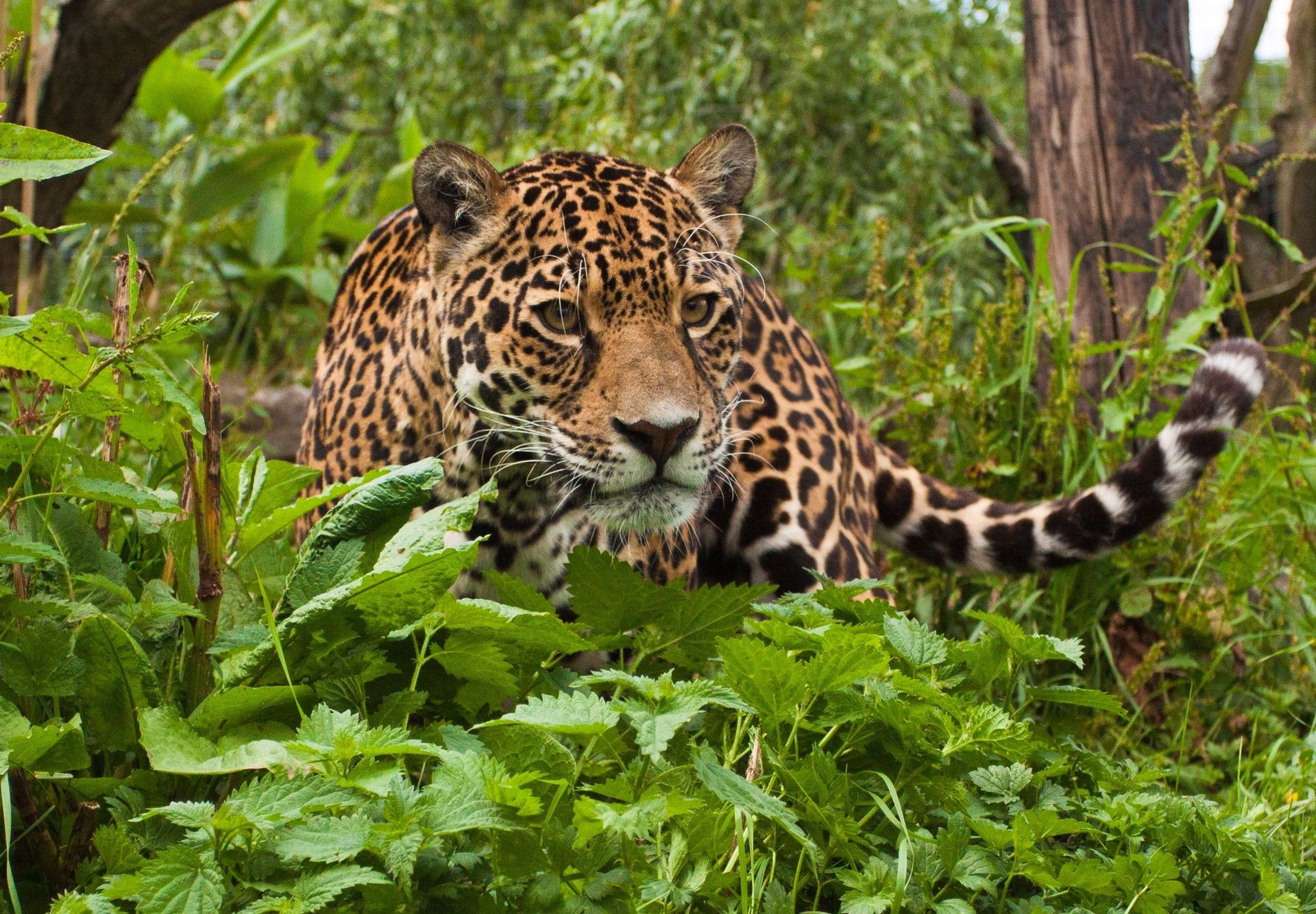 Home cat hd wallpaper. Jaguar clipart tropical animal