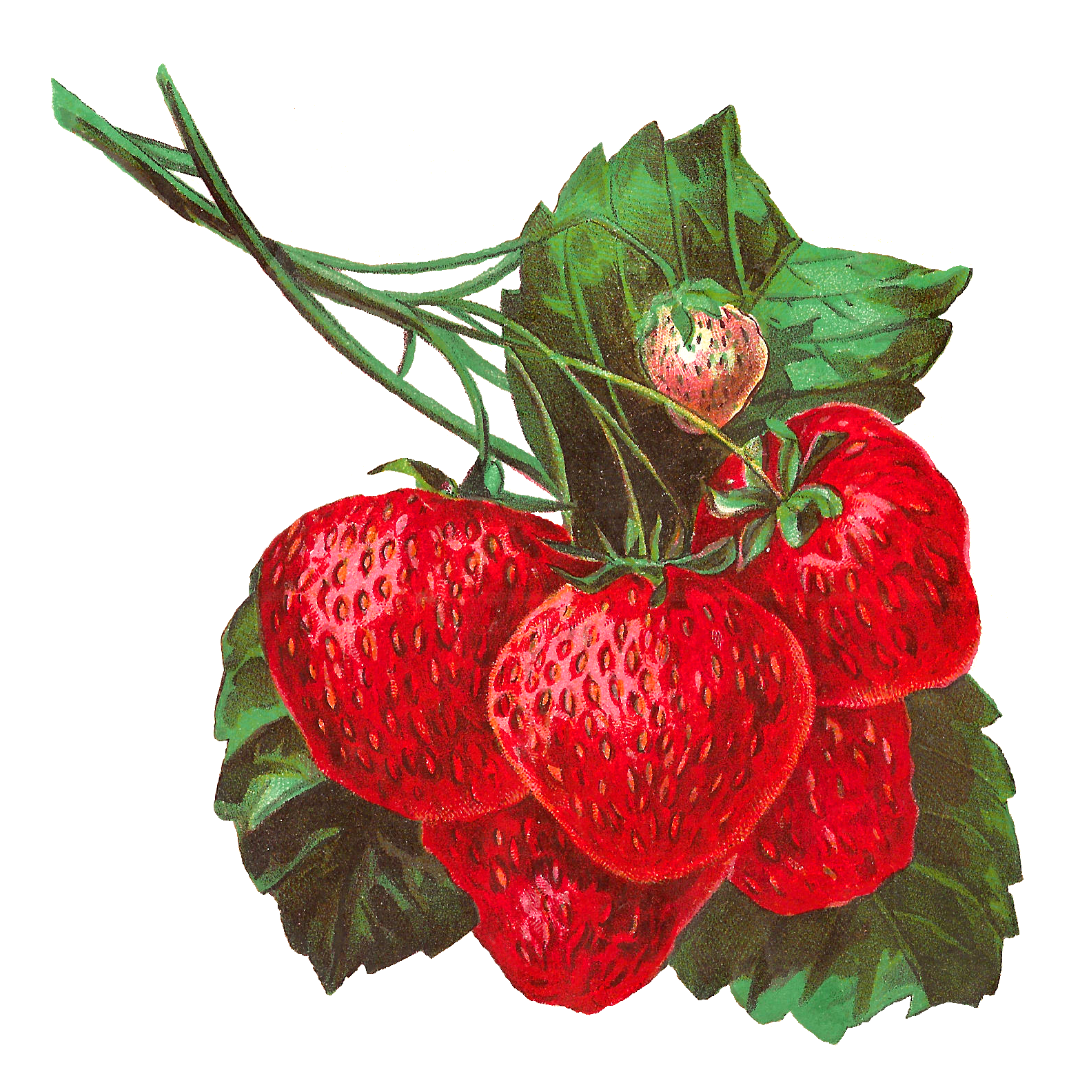 Strawberries clipart simple strawberry. Antique images stock digital