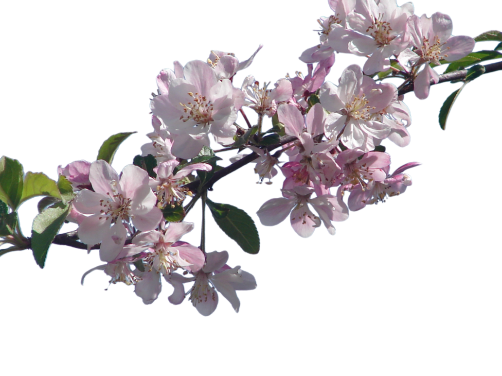 Japanese clipart peach blossom. Cherry png hd transparent