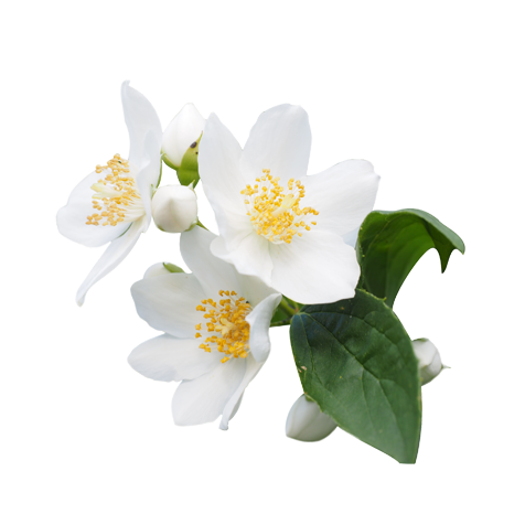 Transparent images pluspng. Jasmine flower png
