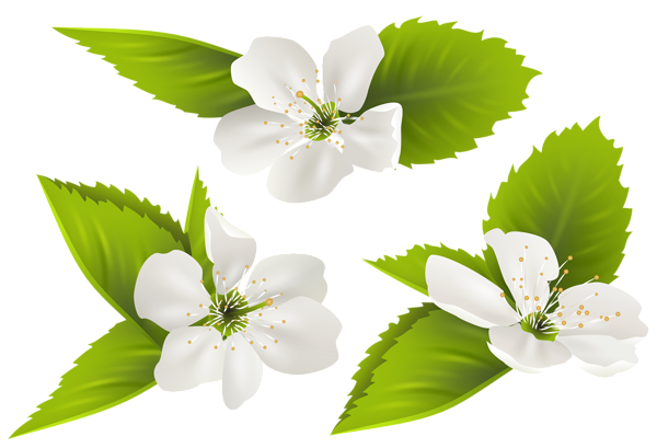 collection of clipart. Jasmine flower png
