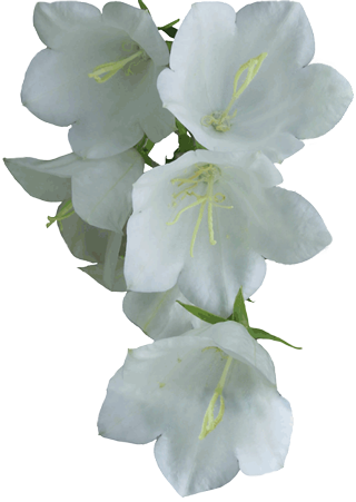 White flowers backgrounds pinterest. Jasmine flower png