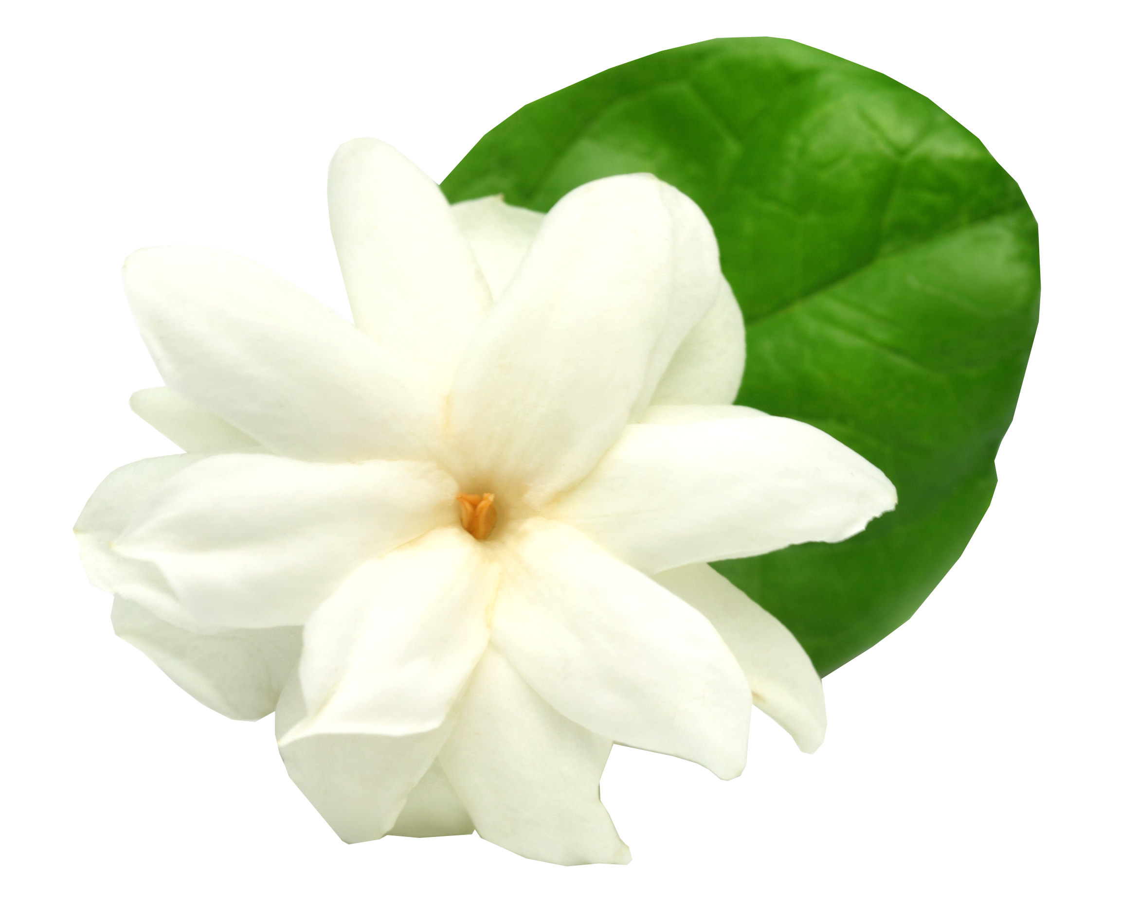 Jasmine flower png. Arabian stock photography clip
