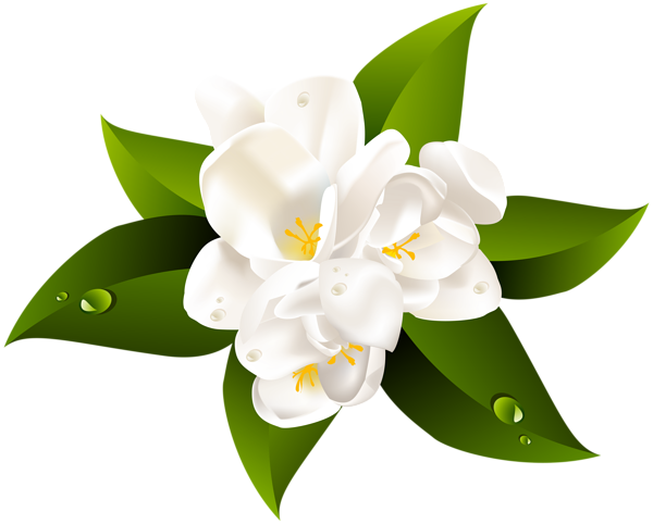 Jasmine flower png. White transparent clip art