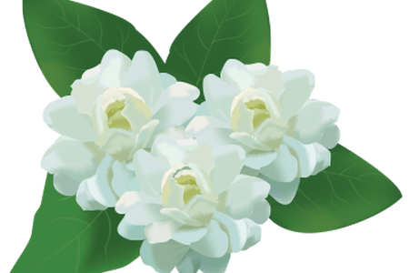 Jasmine flower png. Images the flowers are