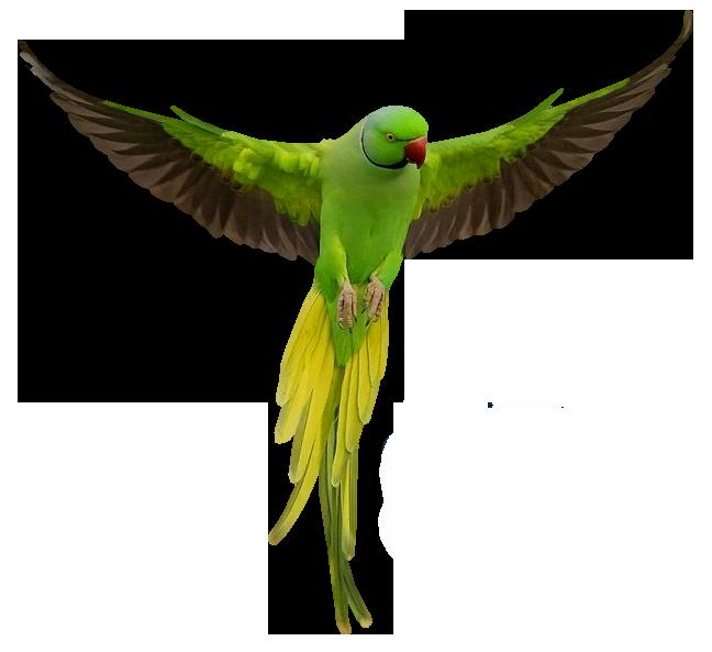 Parrot clipart rainforest parrot. Transparent green png picture