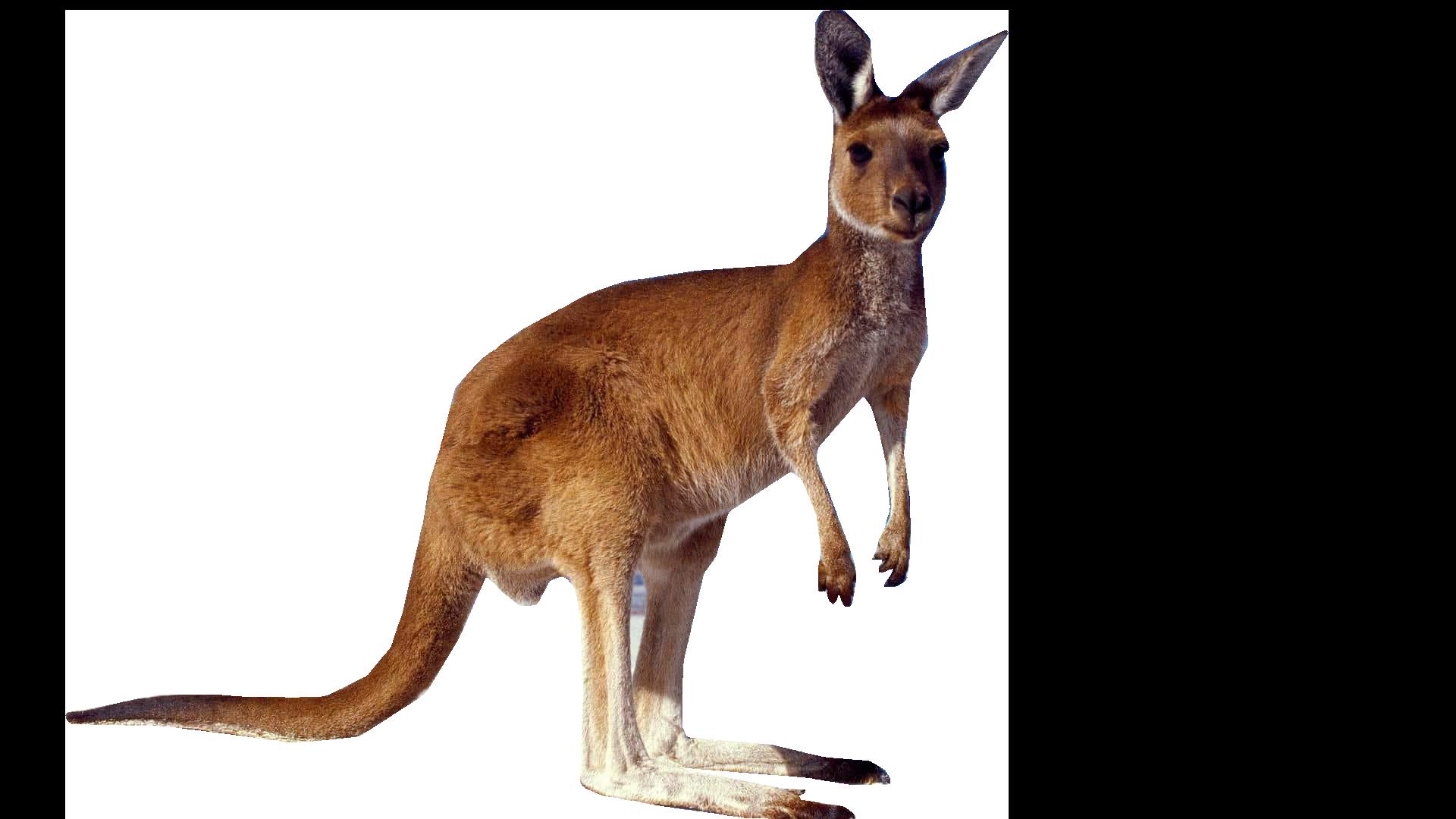 Kangaroo clipart clothes. Standing png image purepng