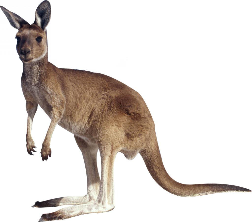 Kangaroo clipart mammal. Clip art a transprent