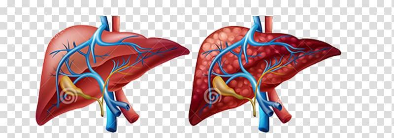 Kidney clipart cirrhosis. Liver human body diagram