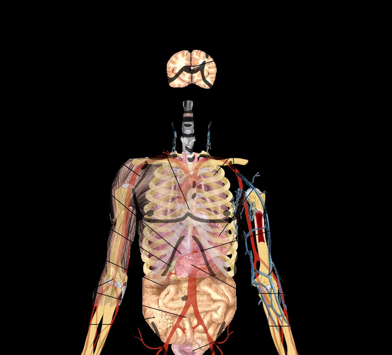 Neck clipart body part. Humbody organs drawing at
