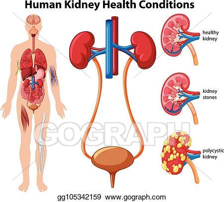 Kidney clipart healthy kidney. Vector art human health