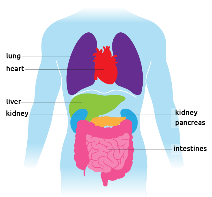 Liver clipart pancreas. Organ facts and surgeries