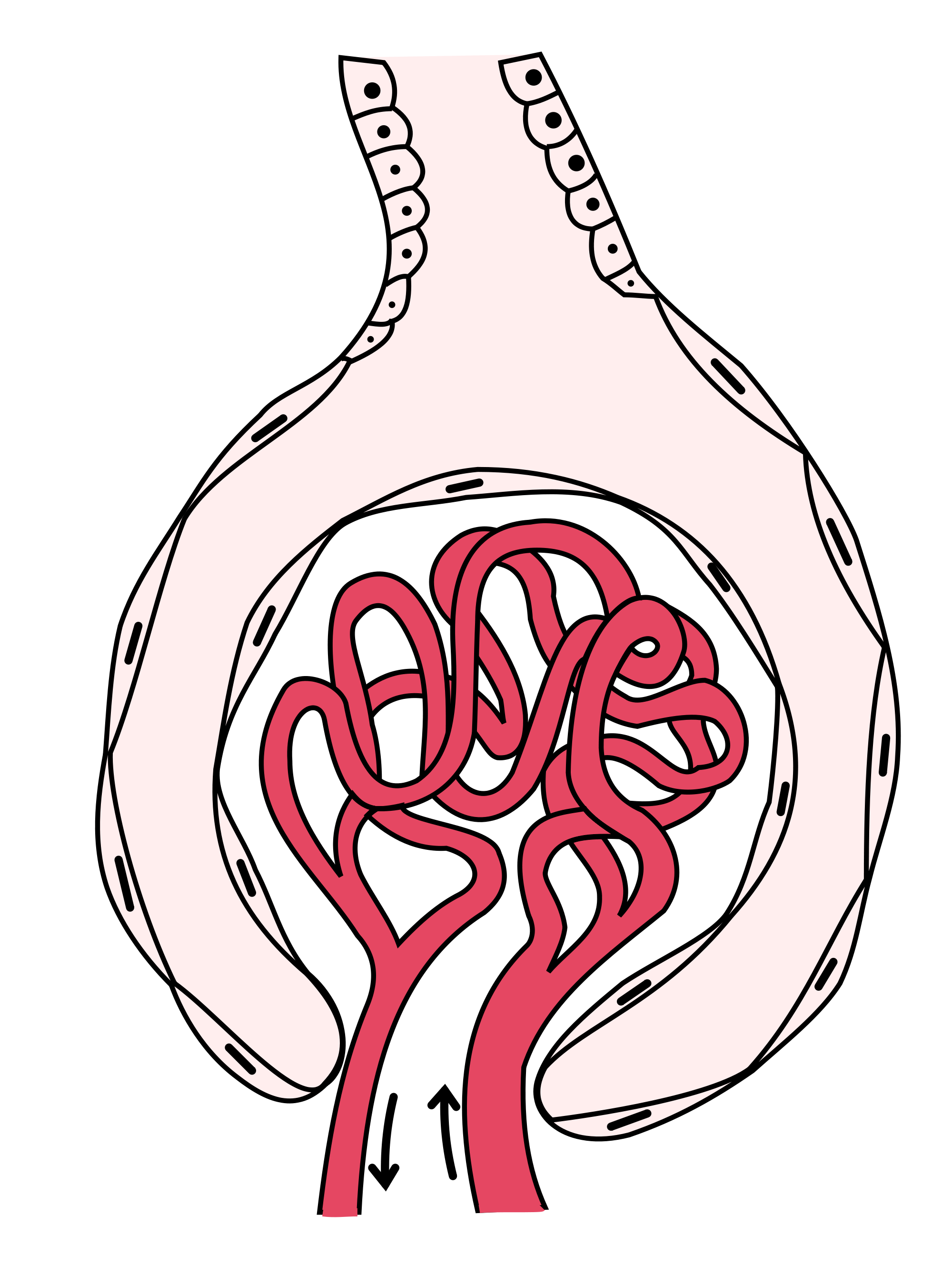 Wikipedia drawing of the. Kidney clipart nephrotic syndrome