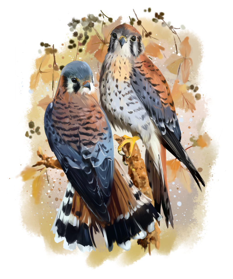 American kestrel painting by. Kite clipart watercolor