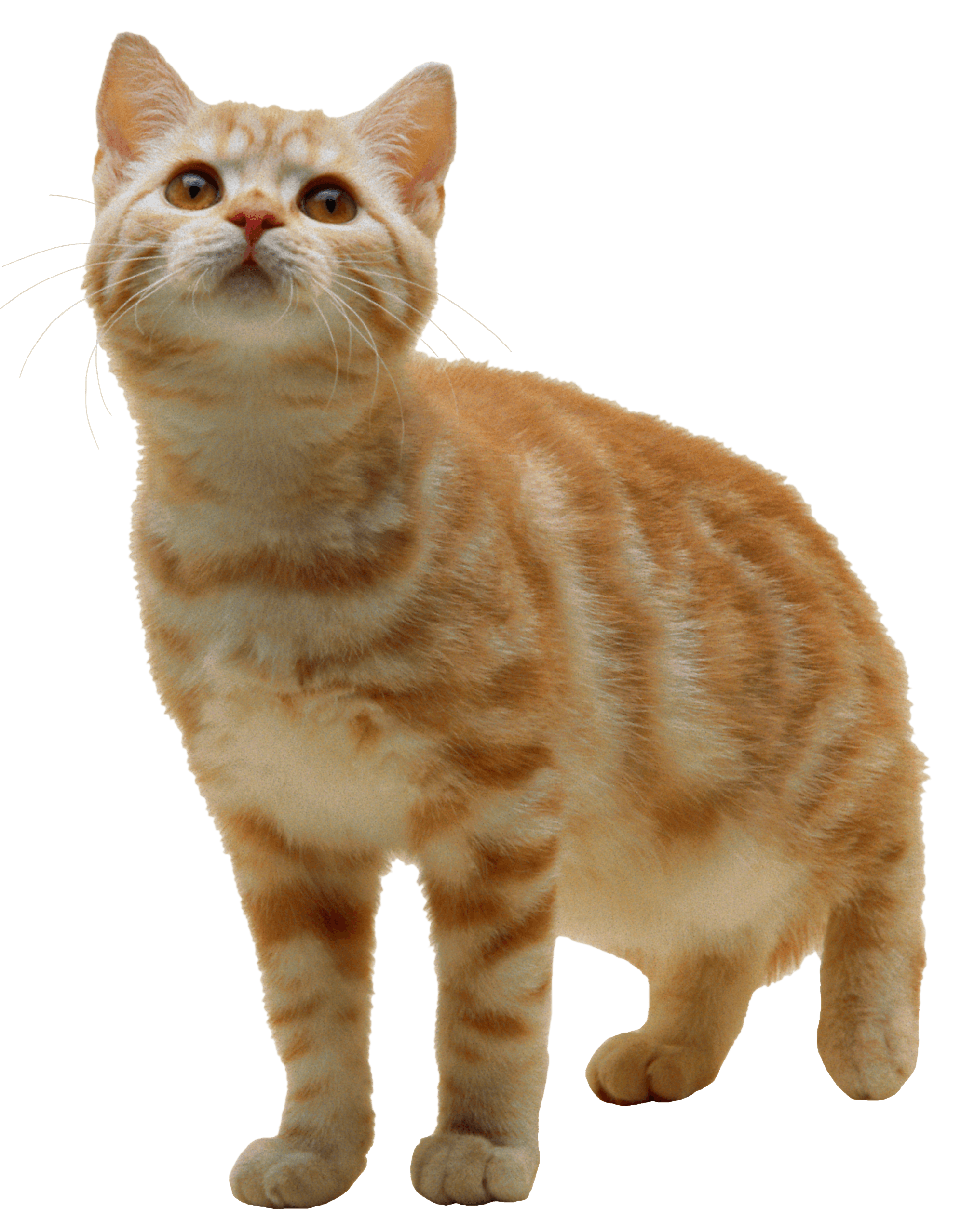 Kittens clipart 7 cat.  png image download