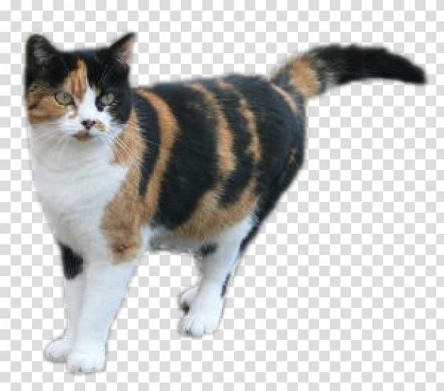 American wirehair shorthair persian. Kitten clipart calico