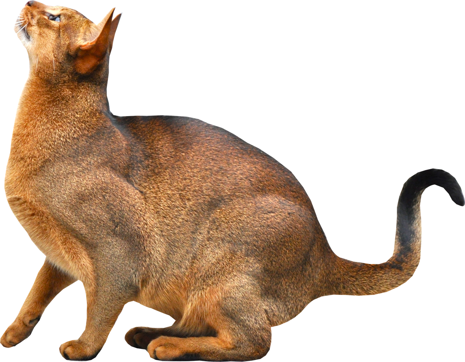 Cats png free images. Kittens clipart cate