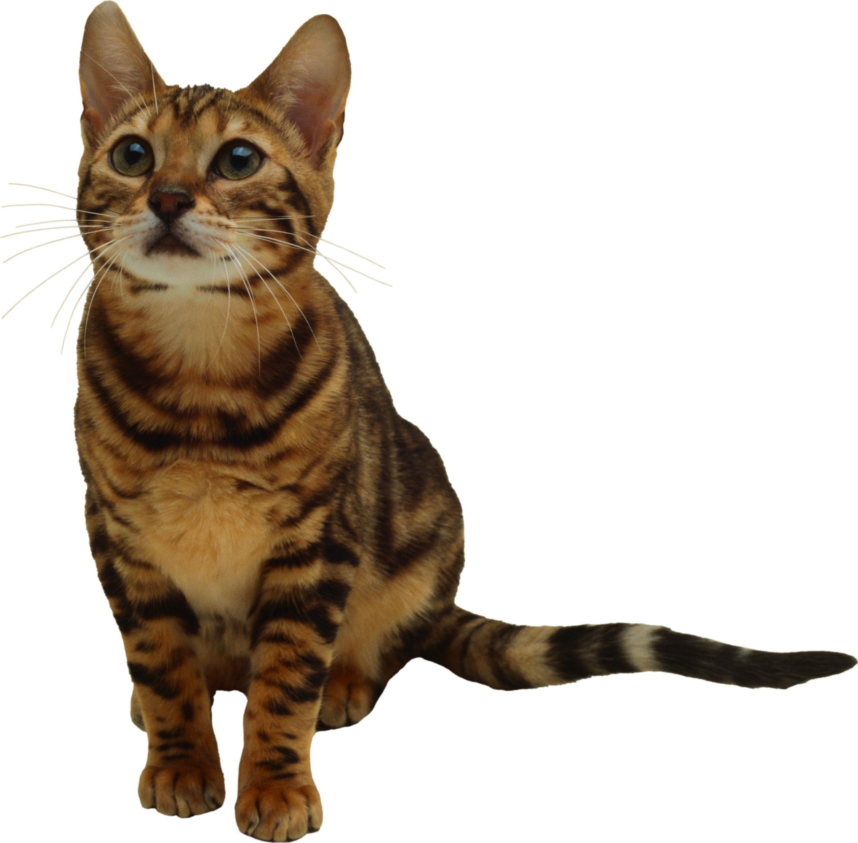 Fourteen isolated stock photo. Kitten clipart rat cat