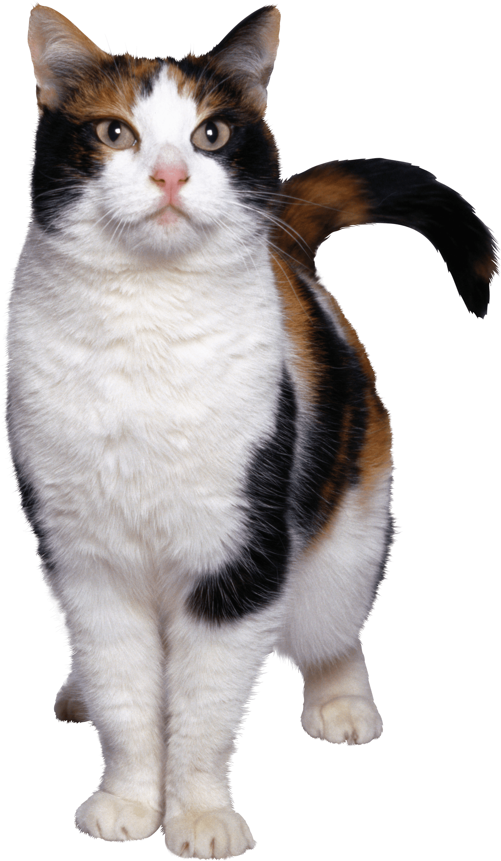 Kittens clipart calico.  cat png image