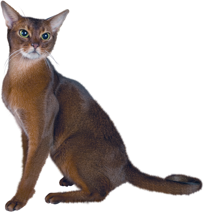 collection of real. Kitty clipart realistic