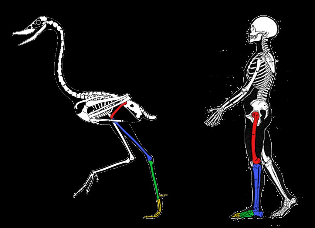 Knee clipart bend knee. Anatomy of a bird