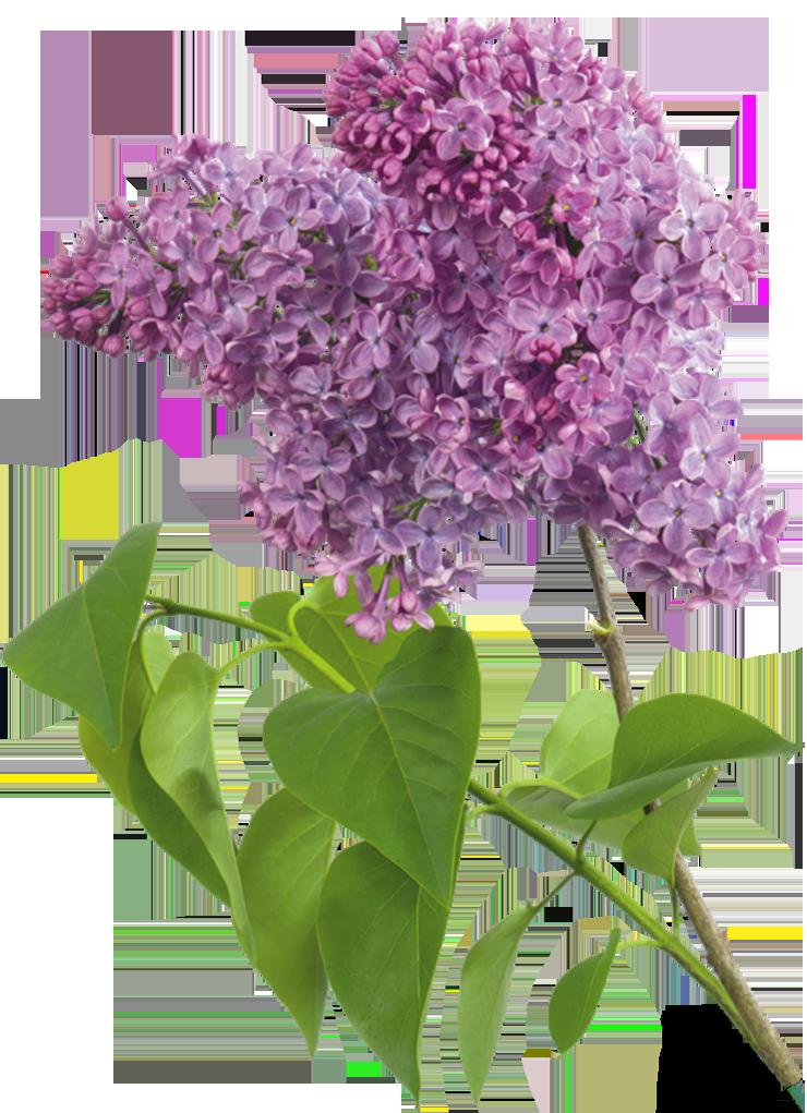 Lavender clipart transparent background. Purple lilac gallery yopriceville