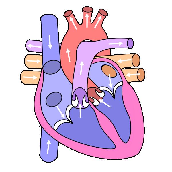 Human biology laboratory circulation. Lungs clipart anatomical heart