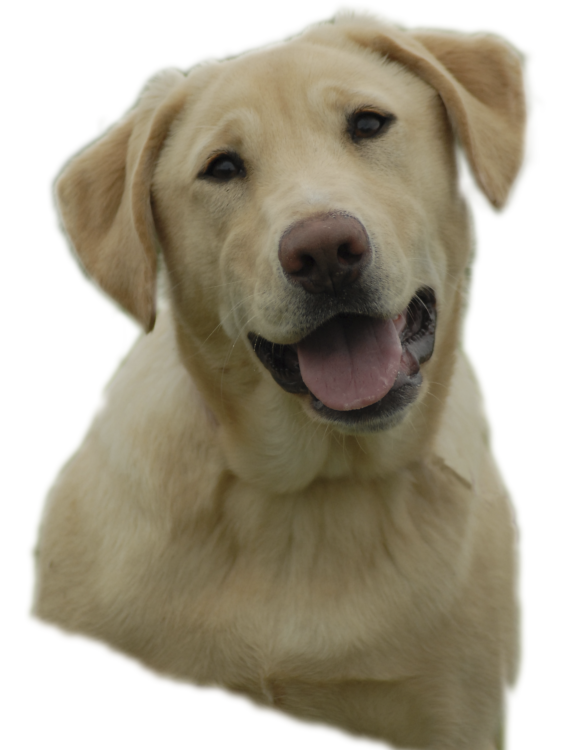 Paws clipart yellow dog. Yellowlab free images at