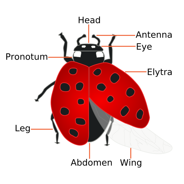 Ladybug clipart angry. Fun facts the can