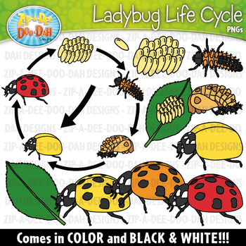 Ladybugs clipart lifecycle. Realistic ladybug life cycle